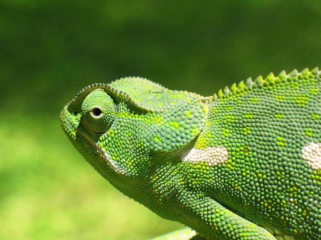 chameleon01